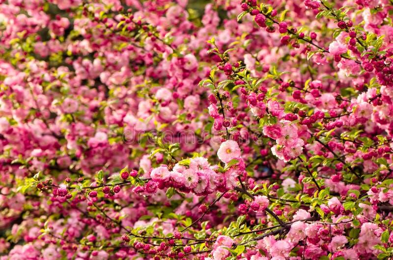 Flores del triloba del Prunus fotos de archivo libres de regalías