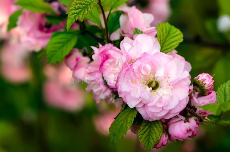 Flores del triloba del Prunus Primer imagen de archivo