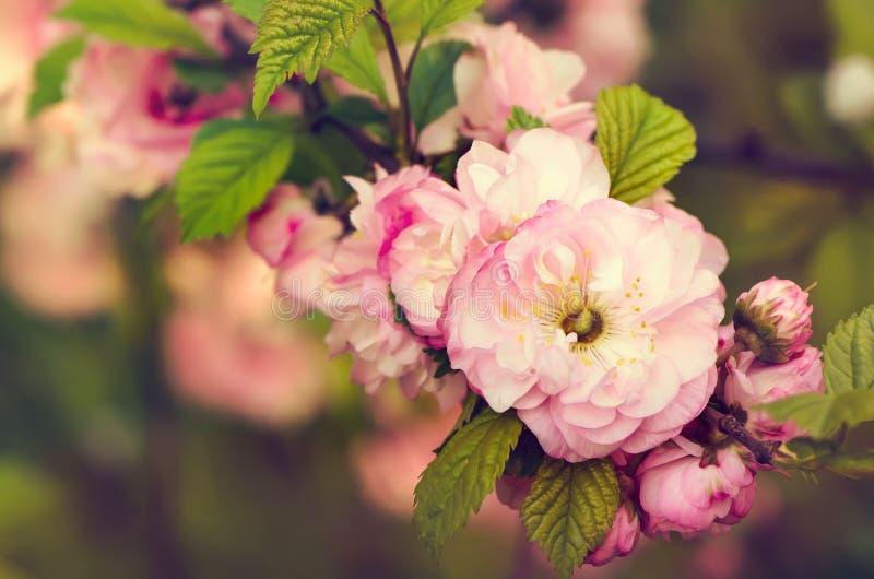 Flores del triloba del Prunus Primer fotos de archivo