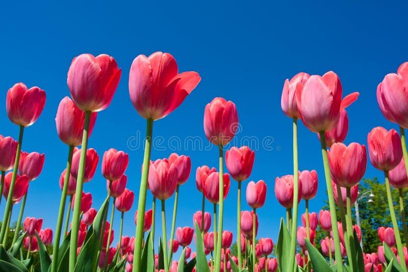 Flores del tulipán imagen de archivo