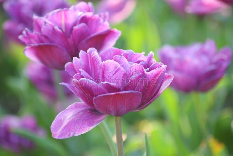 Flores del tulipán - fotos comunes imagen de archivo
