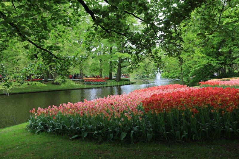 Flores del tulipán, jardín Holanda del keukenhof fotos de archivo