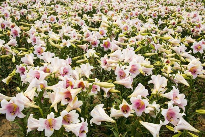Flores del verano, lirio imágenes de archivo libres de regalías