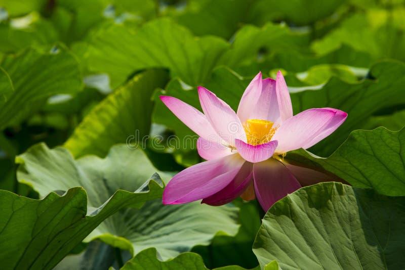 Flores del verano, loto, imágenes de archivo libres de regalías