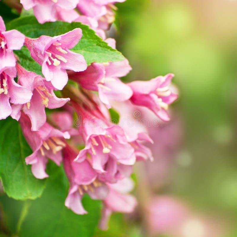 Flores del weigela rosado fotos de archivo libres de regalías