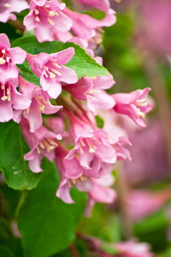 Flores del weigela rosado imágenes de archivo libres de regalías