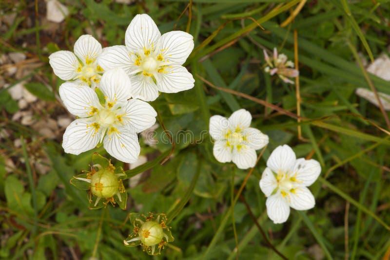 Flores del windflower fotografía de archivo