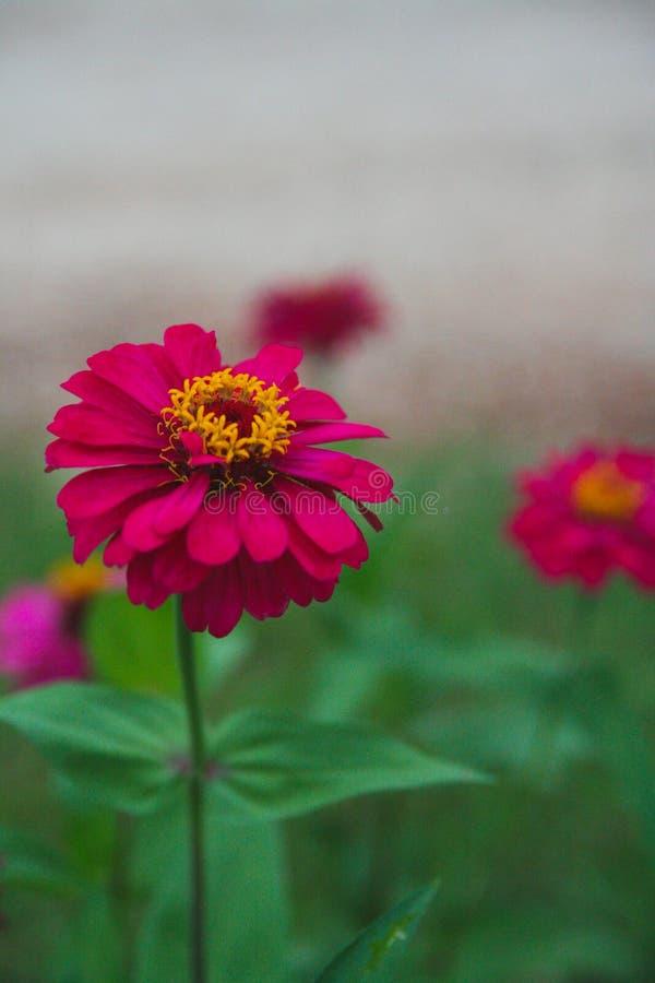 Flores del Zinnia imagenes de archivo