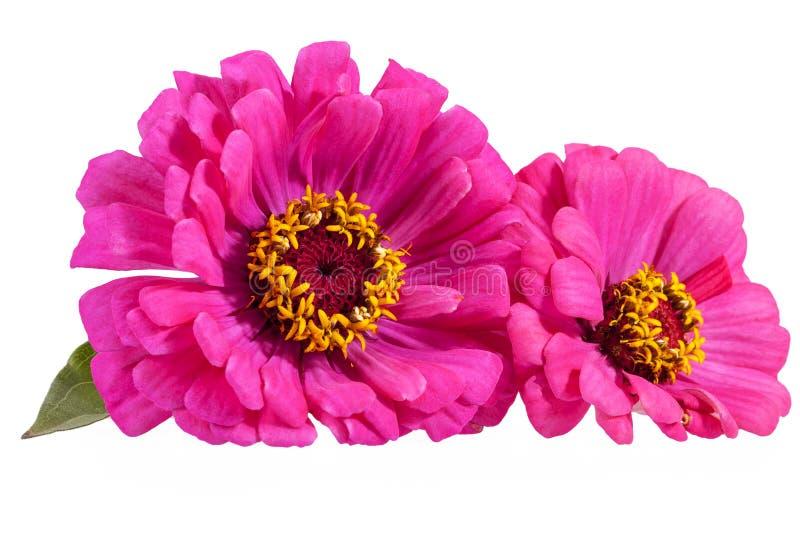 Flores del zinnia rosado en el fondo blanco foto de archivo libre de regalías