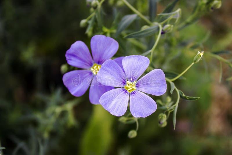 Flores delicadamente azuis do linho em um escuro - fundo verde fotos de stock
