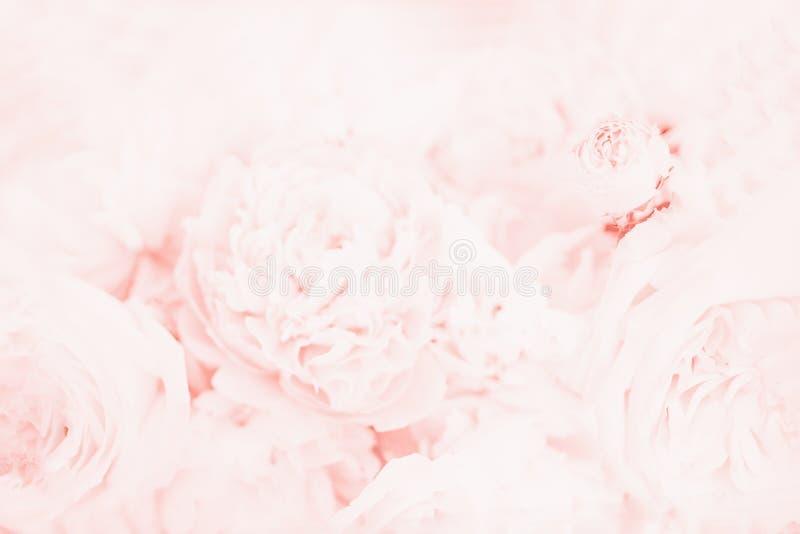 Flores delicadas bonitas da peônia Fundo floral, claro - coral cor-de-rosa, cor macia fotografia de stock
