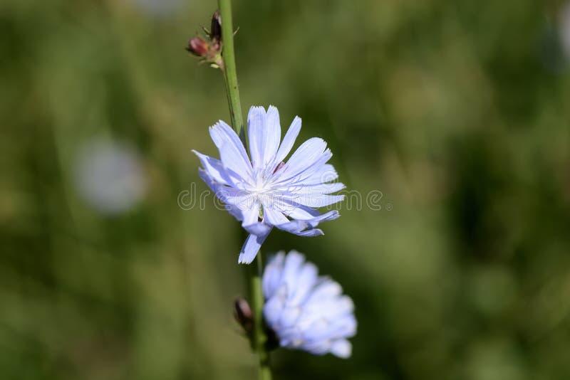 Flores delicadas da chicória iluminadas pelo sol brilhante do verão imagem de stock royalty free
