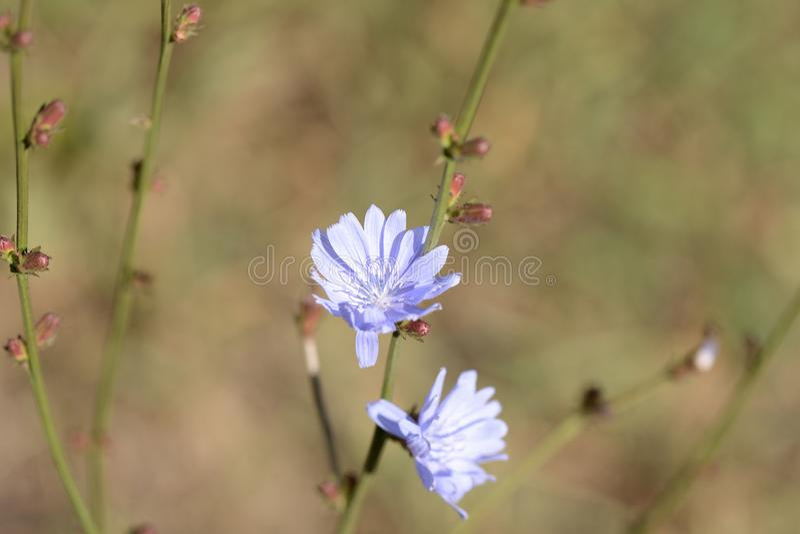 Flores delicadas da chicória iluminadas pelo sol brilhante do verão fotografia de stock