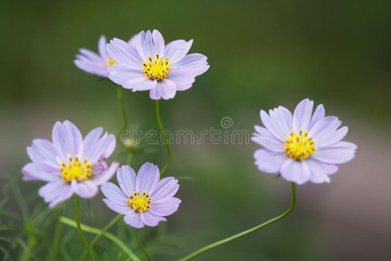Flores delicadas do bipinnatus do cosmos da alfazema fotografia de stock royalty free