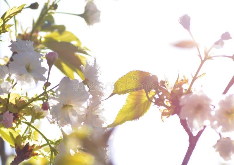 Flores delicadas en contraluz, la flor tradicional de Sakura de Japón imagen de archivo