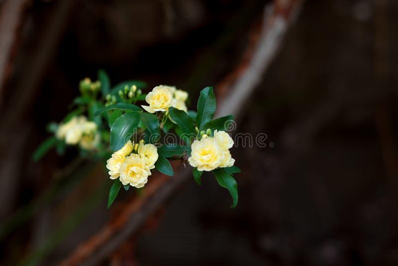 Flores delicadas pequenas das rosas amarelas, banksiae de Rosa ou flor cor-de-rosa da senhora Banco que floresce no jardim fotos de stock royalty free