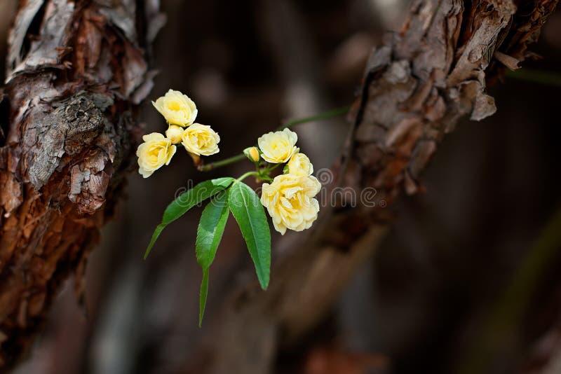 Flores delicadas pequenas das rosas amarelas, banksiae de Rosa ou flor cor-de-rosa da senhora Banco que floresce no jardim imagens de stock