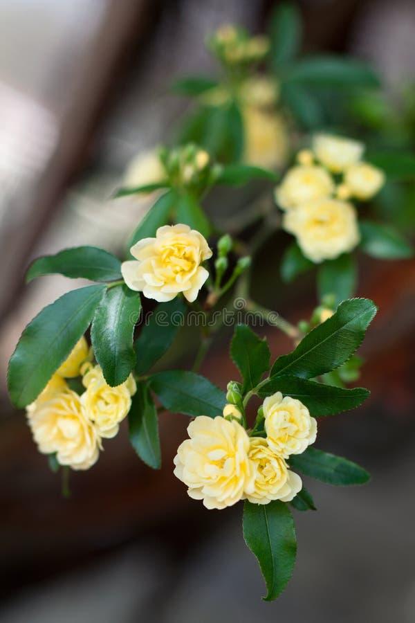 Flores delicadas pequenas das rosas amarelas, banksiae de Rosa ou flor cor-de-rosa da senhora Banco que floresce no jardim fotografia de stock royalty free