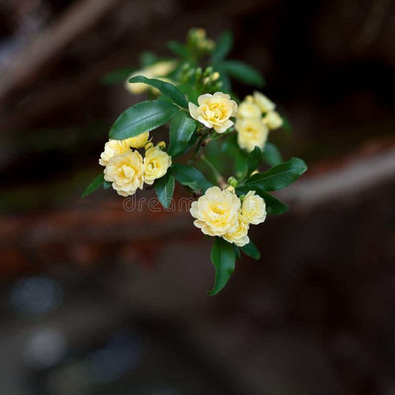 Flores delicadas pequenas das rosas amarelas, banksiae de Rosa ou flor cor-de-rosa da senhora Banco que floresce no jardim fotos de stock