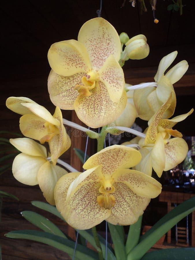 Flores delicadas y orquídeas amarillas fragantes foto de archivo libre de regalías