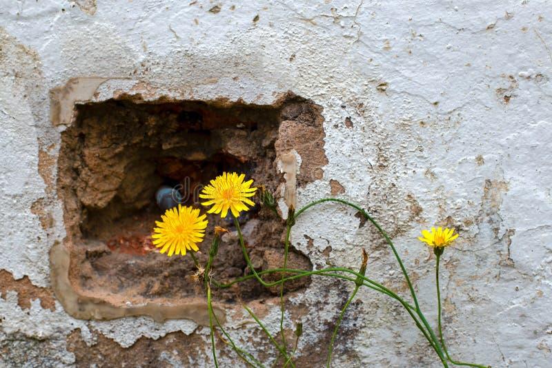 Flores deterioradas de la pared y del diente de león fotos de archivo
