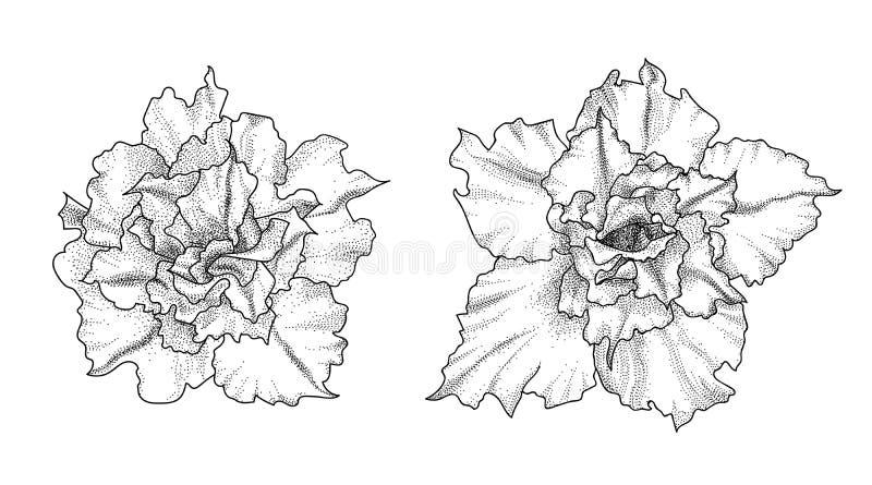 Flores dibujadas mano del adenium stock de ilustración
