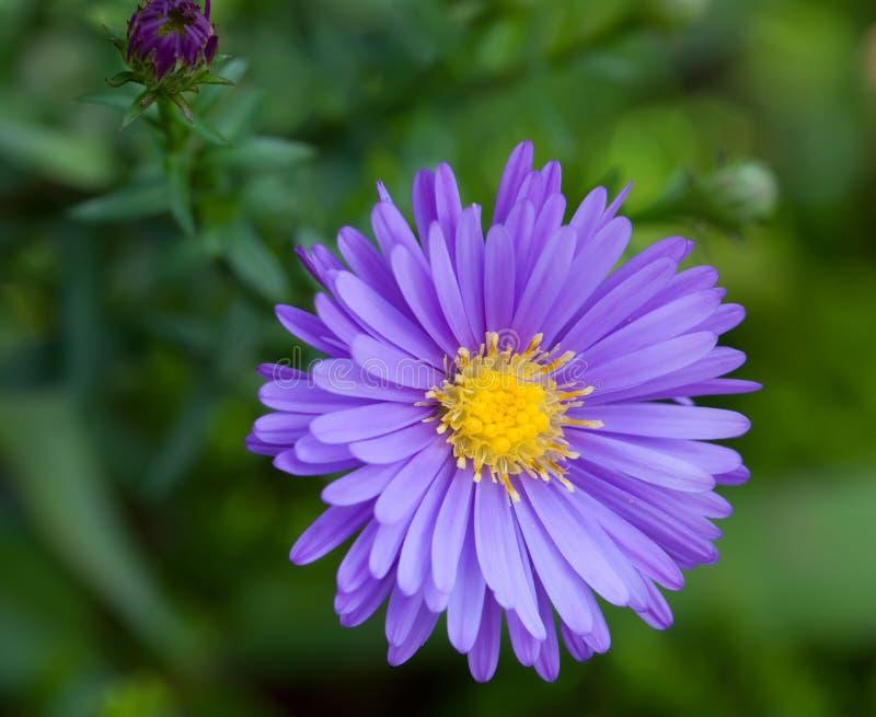 Flores do áster fotos de stock