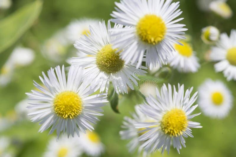 Flores do áster no jardim imagens de stock royalty free
