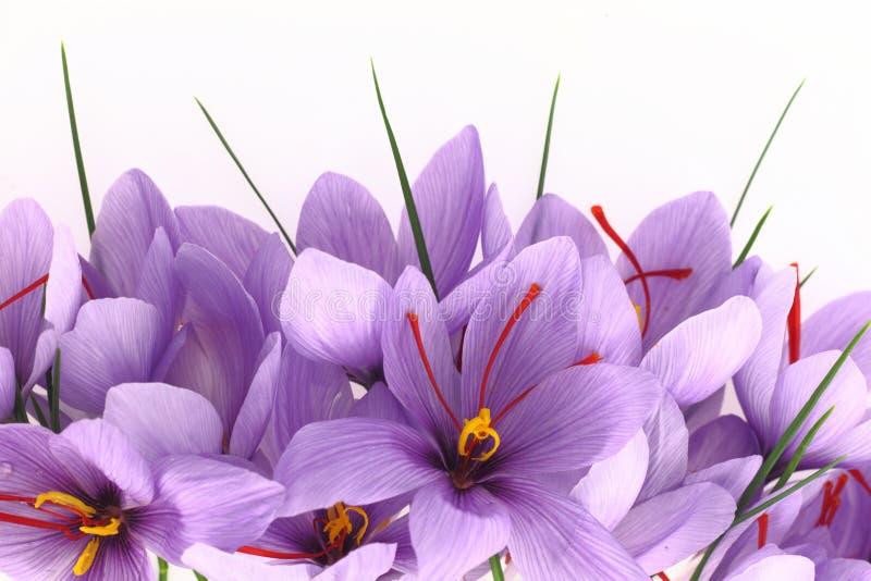 Flores do aç6frão fotografia de stock