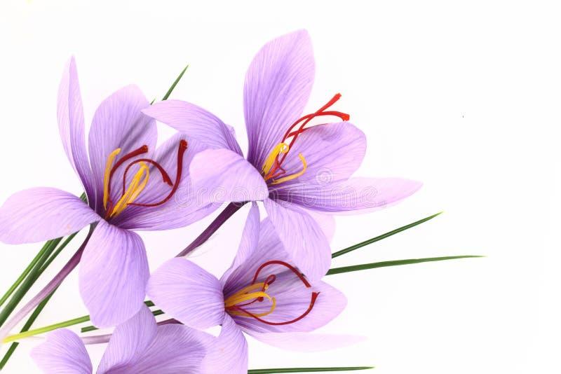 Flores do aç6frão fotografia de stock royalty free