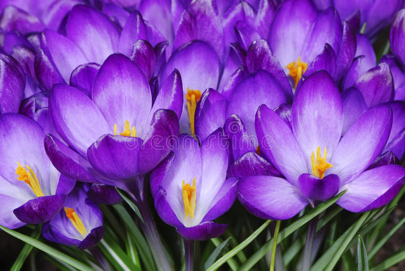 Flores do açafrão foto de stock royalty free