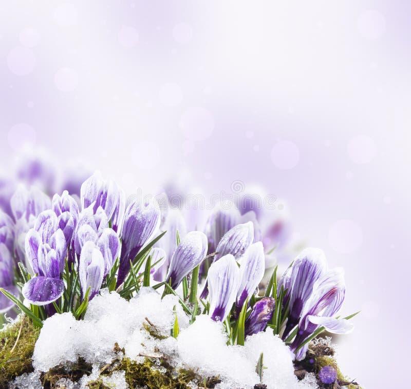 Flores do açafrão fotos de stock