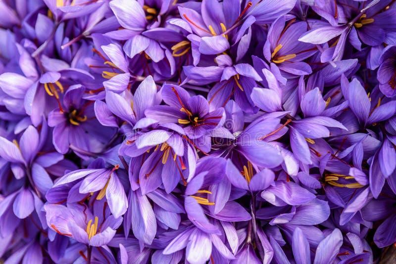 Flores do açafrão após a coleção fotos de stock royalty free