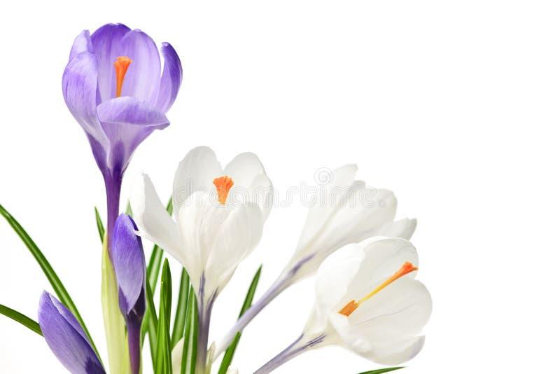 Flores do açafrão da mola fotos de stock