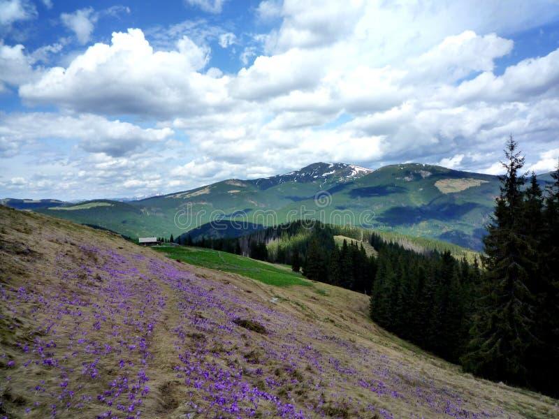 Flores do açafrão da mola em montanhas Carpathian foto de stock royalty free