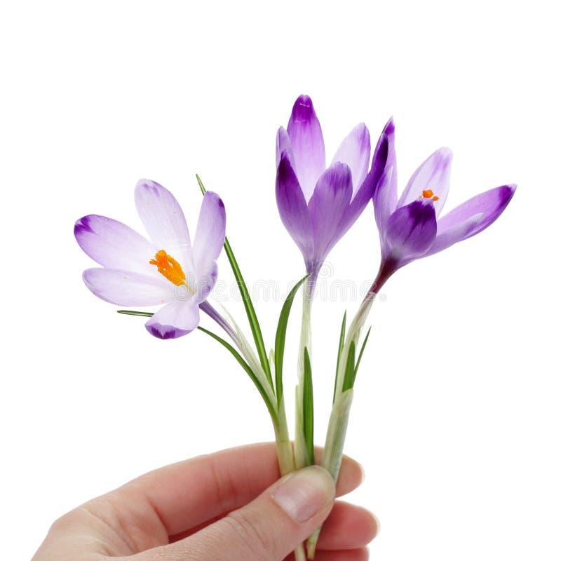 Flores do açafrão na mão dos womans fotos de stock royalty free