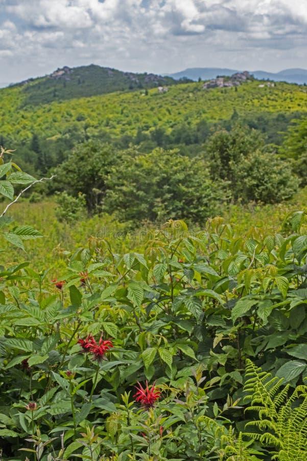 Flores do Abelha-bálsamo abaixo de uma montanha em Grayson Highlands imagens de stock