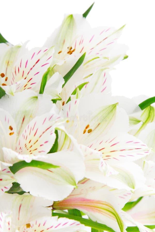 Flores do Alstroemeria imagem de stock