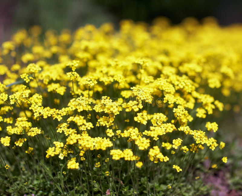 Flores do Alyssum foto de stock royalty free