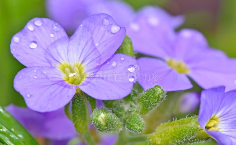 Flores do amor perfeito fotos de stock royalty free