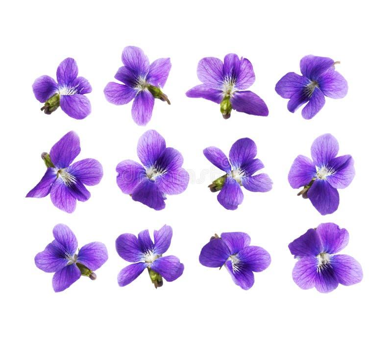Flores do amor perfeito isoladas no fundo branco fotografia de stock royalty free