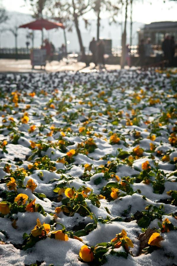 Flores do amor perfeito surpreendidas com primeira neve na cidade foto de stock royalty free