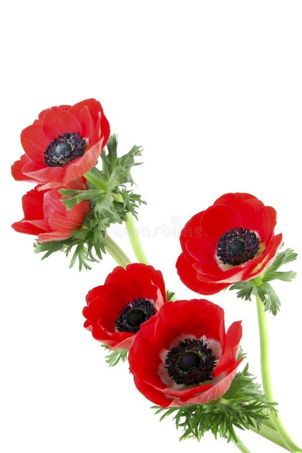 Flores do Anemone fotos de stock