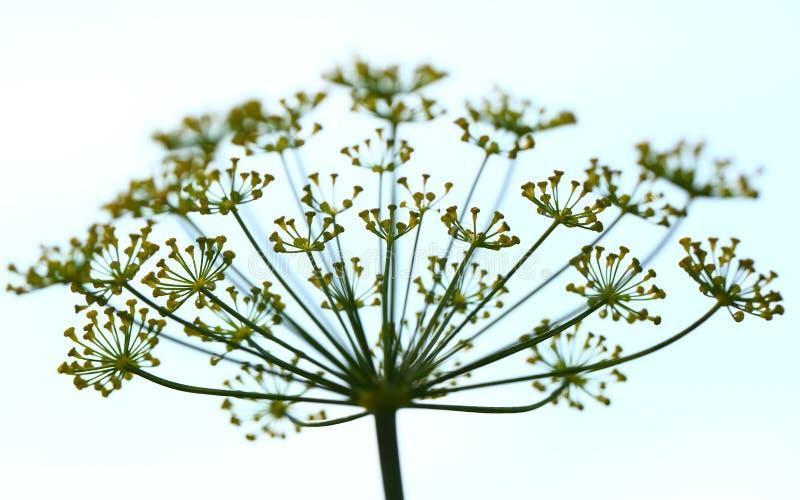 Flores do aneto imagem de stock