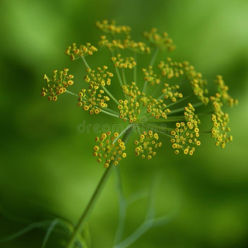 Flores do aneto imagens de stock royalty free