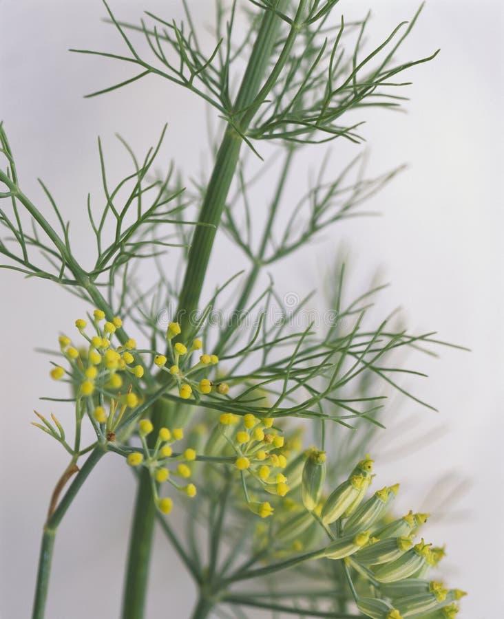 Flores do aneto imagens de stock
