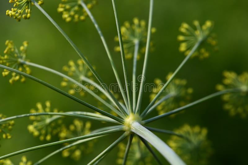 Flores do aneto fotografia de stock
