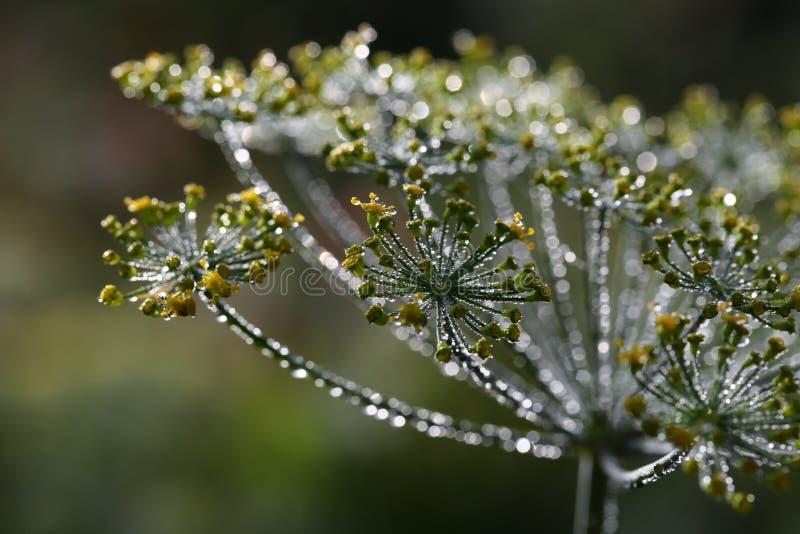 Flores do aneto com gotas de orvalho foto de stock