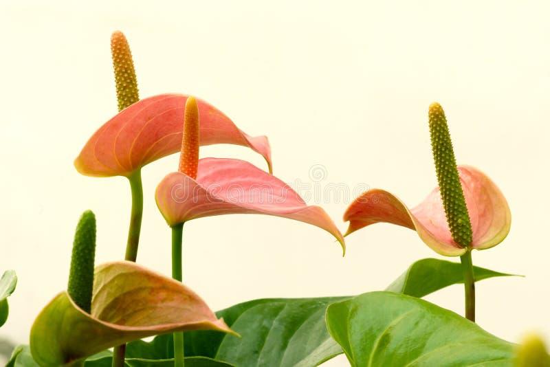 Flores do antúrio imagem de stock royalty free
