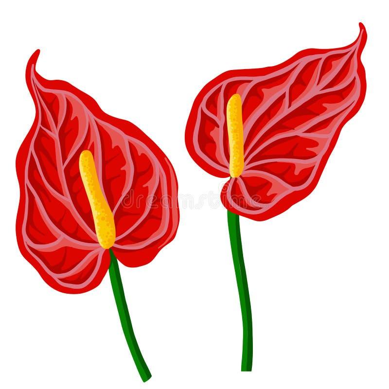 Flores do antúrio do desenho do vetor ilustração do vetor
